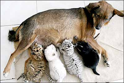dog nurses tiger cubs