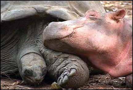 baby hippo and papa tortoise