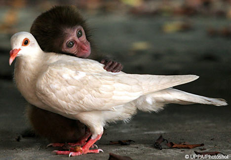 Monkey finds love with a pigon