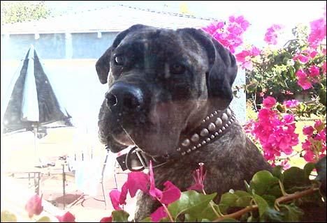 madison bull mastiff