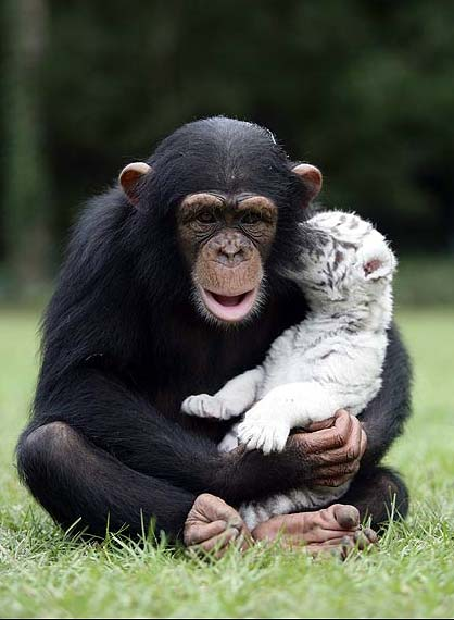 white tigers chimpanzee chimp