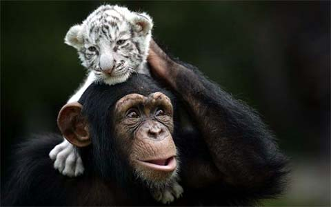 white tigers chimpanzee
