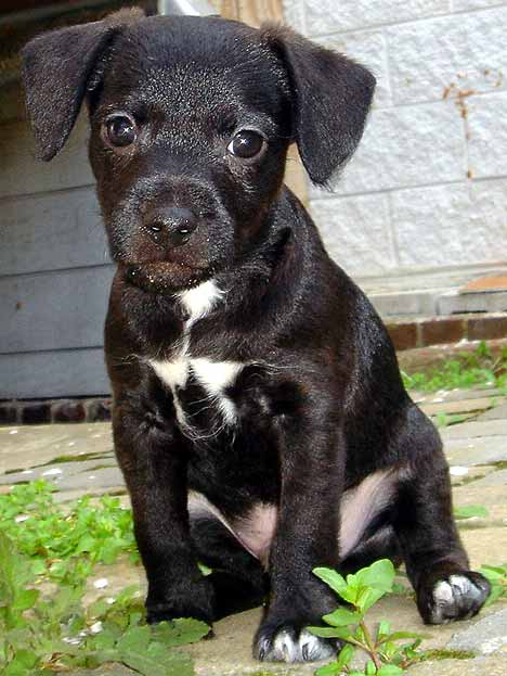 Black Patterdale Terrier Puppies Pictures to Pin on Pinterest ... Lakeland Terrier Rescue Texas